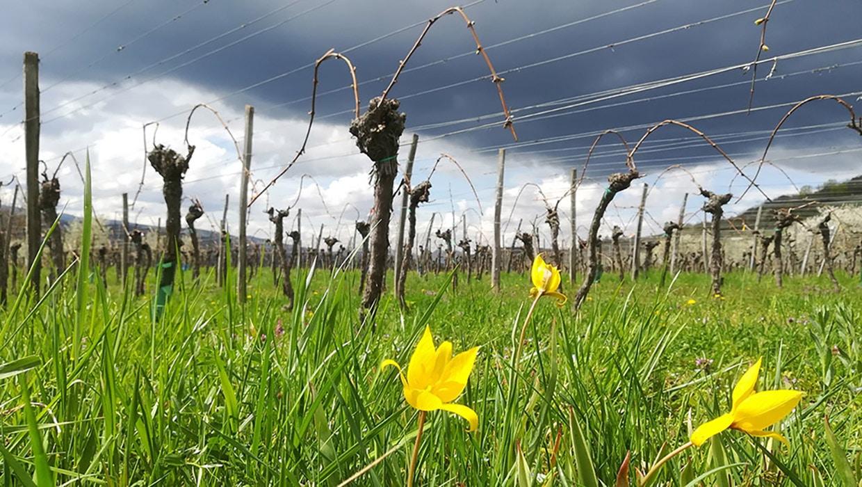 les_vignes_du_domaine_au-printemps