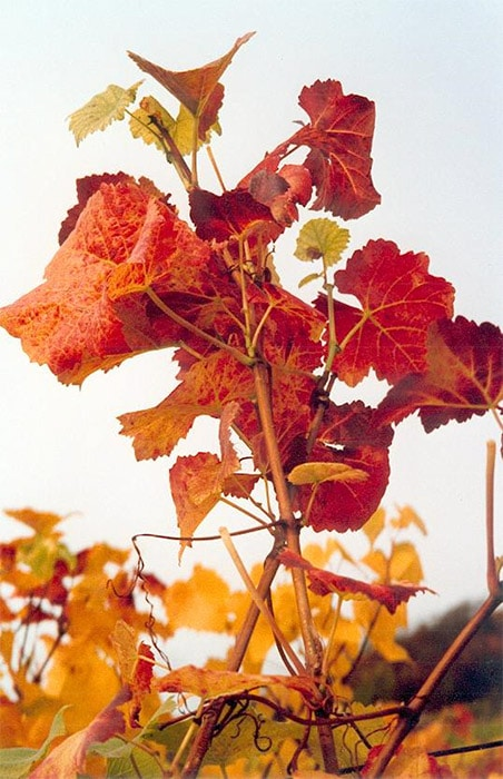vignes_automne.jpg